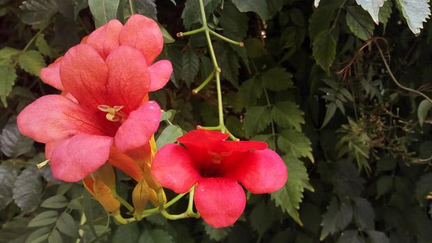 Cubot Max Camara macro flor