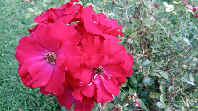 Vernee Mars Pro fotos con la cámara a flores